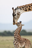 Masai Giraffe (Giraffa camelopardalis tippelskirchi), female and its young, Masai-Mara National Reserve, Kenya
