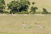 Cheetah (Acinonyx jubatus), female and her young peering Thomson's gazelles, Masai-Mara National Reserve, Kenya