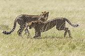 Cheetah (Acinonyx jubatus), hunting a young Thomson's Gazelle (Gazella thomsonii), Masai-Mara National Reserve, Kenya
