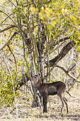 Waterbuck (Kobus ellipsiprymnus), young, Sabi Sands Reserve, South Africa