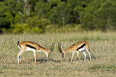 Thomson's Gazelle (Gazella Thomsonii), Male Fight, Masai-Mara Reserve, Kenya