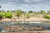 Black-faced Impala (Aepyceros melampus petersi), group at the waterhole, Sabi Sands Private Reserve, South Africa