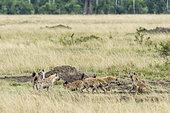 Spotted hyena (Crocuta crocuta), group conflict with an individual, Masai-Mara National Reserve, Kenya
