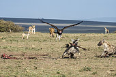Hyenas (Crocuta crocuta) scavenging on a carcass and surrounded by Black backed jackals (Canis mesomelas), Lionesses (Panthera leo) and a Lappet-faced vulture (Torgos tracheliotos), Masai-Mara Game Reserve, Kenya