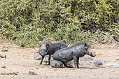 Warthog (Phacochoerus aethiopicus), rubbing himself after a mud bath, Sabi Sands Private Reserve, South Africa