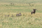 Eastern wildebeest (Connochaetes taurinus albojubatus) and Warthog (Phaecochoerus aethiopicus) female and her young looking at cheetah males, Masai-Mara Reserve, Kenya
