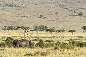 Black Rhinoceros (Diceros bicornis) in the savanna, Masai-Mara Reserve, Kenya
