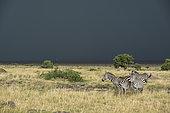Grant's Zebras (Equus burchelli granti), group and thunderstorm, Masai-Mara National Reserve, Kenya