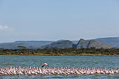 Lesser Flamingo (Phoeniconaias minor), Elmenteita Lake, Soysambu Conservation Area, Kenya