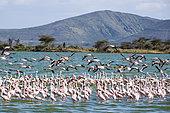 Lesser Flamingo (Phoeniconaias minor) and Greater Flamingo (Phoenicopterus roseus), Elmenteita Lake, Soysambu Conservation Area, Kenya