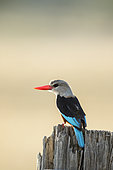 Grey-headed Kingfisher (Halcyon leucocephala), Masai-Mara National Reserve, Kenya