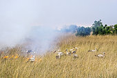 White Storks (Ciconia ciconia), feeding on the edge of a bush fire, Masai-Mara Reserve, Kenya