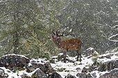 Red deer (Cervus elaphus), roaring deer during rutting season, snowfall, Upper Austria, Austria, Europe