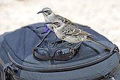 Hood Mockingbirds (Nesomimus parvulus macdonaldi), subspecies from Espanola Island, interested in sunglasses on a photographer's backpack, Galapagos Islands, UNESCO World Natural Heritage Site, Ecuador, South America