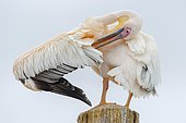Great white pelican (Pelecanus onocrotalus) doing plumage care, Sandwich Harbour, Walvis Bay, Erongo region, Namibia, Africa