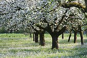 Blossoming apple trees (Malus domestica) on a mixed orchard along with Cuckoo Flowers or Lady's Smock (Cardamine pratensis), Upper Bavaria, Bavaria, Germany, Europe