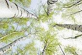 Birch forest in spring, from below, North Rhine-Westphalia, Germany, Europe