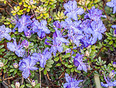 Rhododendron in bloom in a garden