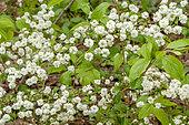 Spiraea prunifolia 'Plena'