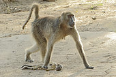 Chacma baboon (Papio ursinus), Female baboon keeping near her, her dead baby for several days, Kruger, South Africa