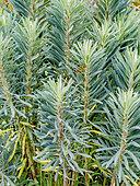 Euphorbia characias var. wulfenii 'Humpty Dumpty'
