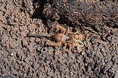 Sun spider (Galeodes sp), Dallol desert, Ethiopia