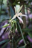 Vanilla flower in the Vanilla Valley, Tahaa, Leeward Islands, Society Islands, French Polynesia