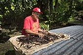 Alfredo spread the vanilla to dry, Vanilla Valley, Tahaa, Leeward Islands, Society Islands, French Polynesia