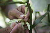 Manual fertilization of a vanilla flower in the vanilla Valley a vanilla plantation, Tahaa, Leeward Islands, Society Islands, French Polynesia