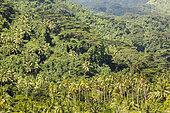 Tropical forest in Tahaa, Society Islands, Leeward Islands, French Polynesia