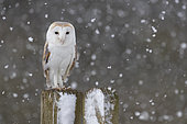 Barn owl (Tyto alba) perched on a fence post while snowing, Angland