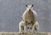 Sheep ( Ovis aries) standing in falling snow, England