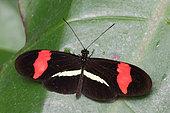 Postman butterfly (Heliconius melpomene rosina) on a leaf, Costa Rica