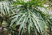 Tarovine (Monstera deliciosa), Collectible plant in the garden of a lodge, North Costa Rica