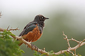 Chestnut-Bellied Starling (Lamprotornis pulcher) adult perched on a thorny, Senegal
