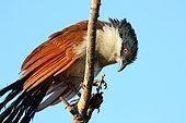 Coucal du Sénégal (Centropus senegalensis) adulte perché se séchant après un bain, Sénégal