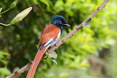 African Paradise-Flycatcher (Terpsiphone viridis)adult male perched, North Tanzania