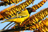 African black-headed oriole (Oriolus larvatus) adult perched eating aloe flowers, Kruger, South Africa