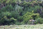Red fox (Vulpes vulpes) hunting, Somiedo Natural Park, Asturias, Spain