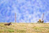 European Wild Cat (Felis silvestris) with prey in a field, Asturias, Spain