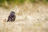 Hen Harrier (Circus cyaneus) female on ground, Asturias, Spain