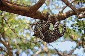 Ocelot (Leopardus pardalis, Felis pardalis), adult male climbing a tree, Honduras, Central America