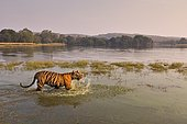 Wild Bengal Tiger or Indian Tiger (Panthera tigris tigris) wading in the water of the Raj Bagh Lake, Ranthambhore National Park, Rajasthan, India, Asia