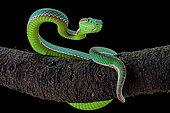 Gumprecht's green pitviper (Trimeresurus gumprechti)
