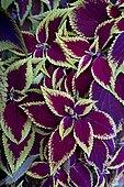 Coleus (Solenostemon sp) two-tone foliage