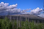 Burned and regenerating coniferous forest, Lake Mac Donald shores, Glacier National Park, Montana, USA