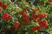 European mountain ash (Sorbus aucuparia), ripe berries
