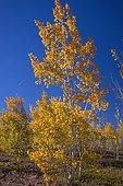 Quaking aspen (Populus tremuloides) in fall
