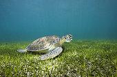 Green Sea Turtle (Chelonia mydas), Akumal, Tulum, Mexico