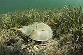Horseshoe Crab (Limulus polyphemus) in Mangroves, Cancun, Yucatan, Mexico